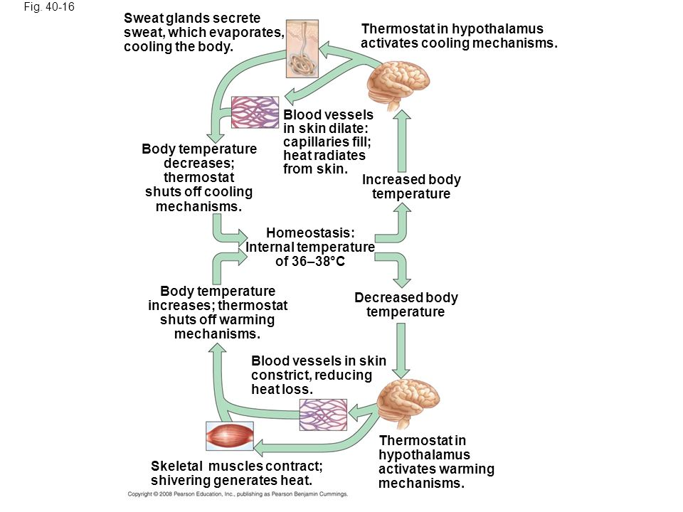 Fig. 40-16 Sweat glands secrete sweat, which evaporates, cooling the body. Thermostat in hypothalamus activates cooling mechanisms. Blood vessels in s
