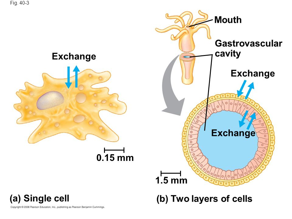 Fig. 40-3 Exchange 0.15 mm (a) Single cell 1.5 mm (b) Two layers of cells Exchange Mouth Gastrovascular cavity
