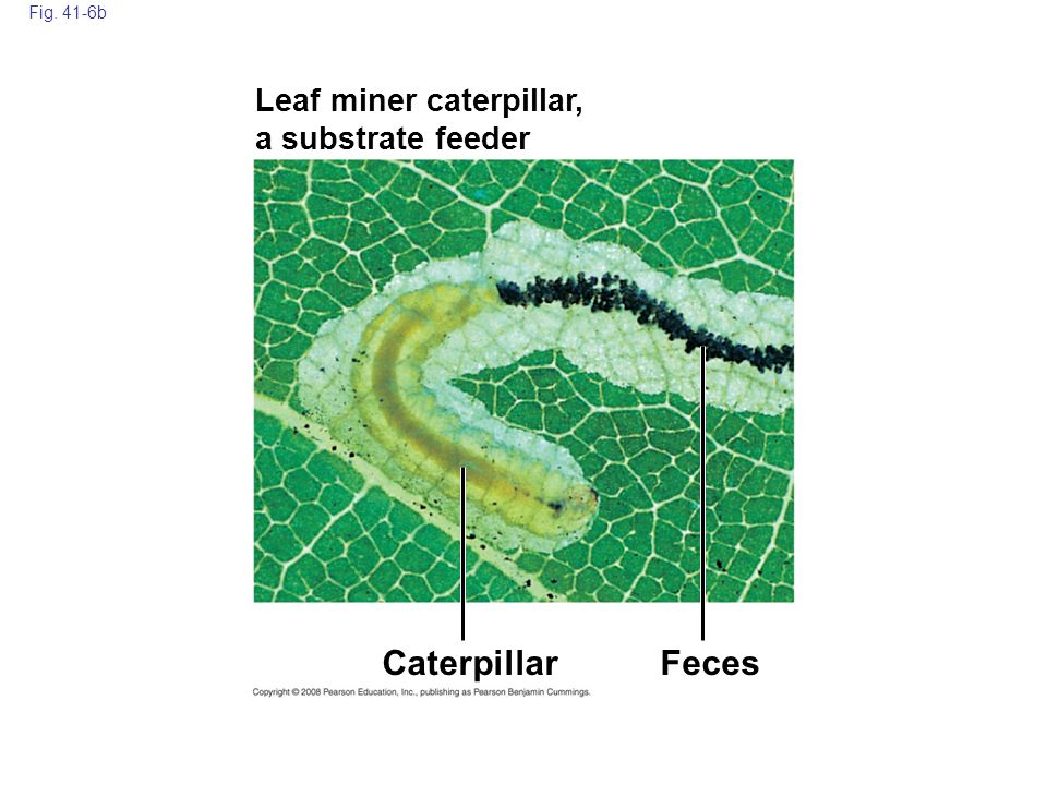 Fig. 41-6b Leaf miner caterpillar, a substrate feeder Caterpillar Feces