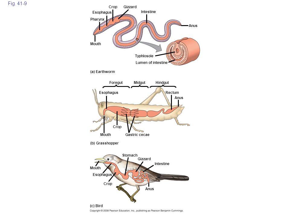 Fig. 41-9 Esophagus Mouth Pharynx CropGizzard Typhlosole Intestine Lumen of intestine Anus (b) Grasshopper Foregut (c) Bird (a) Earthworm MidgutHindgu