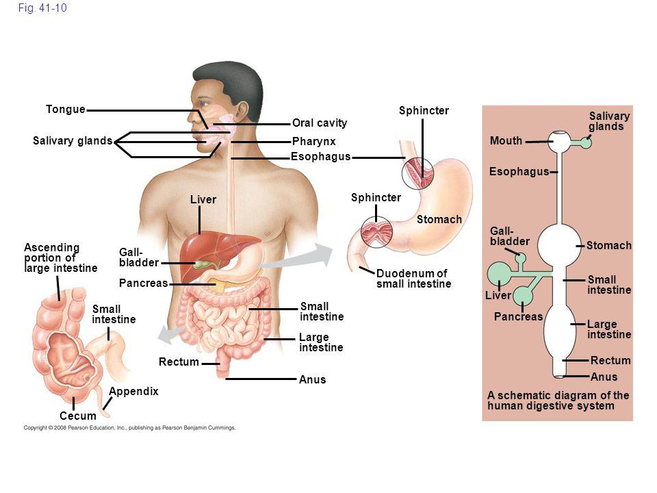 Fig. 41-10 Cecum Anus Ascending portion of large intestine Gall- bladder Small intestine Large intestine Small intestine Rectum Pancreas Liver Salivar