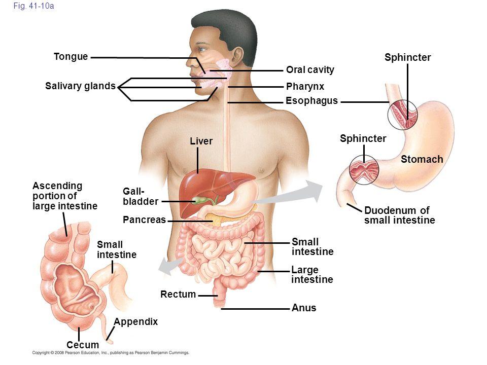 Fig. 41-10a Cecum Anus Ascending portion of large intestine Gall- bladder Small intestine Large intestine Small intestine Rectum Pancreas Liver Saliva