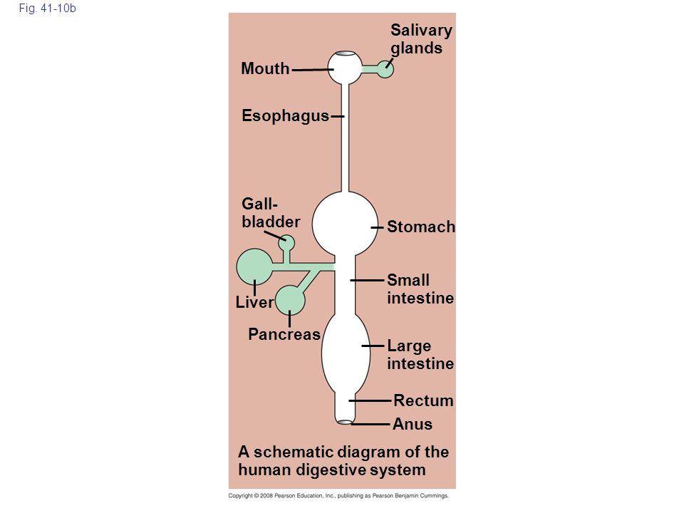 Fig. 41-10b Anus Liver Pancreas Small intestine Large intestine Rectum Stomach Gall- bladder A schematic diagram of the human digestive system Esophag