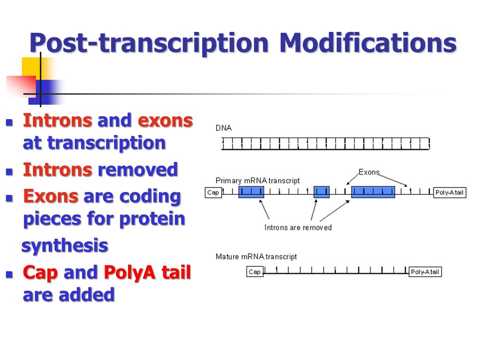 Post-transcription Modifications Introns and exons at transcription Introns and exons at transcription Introns removed Introns removed Exons are codin