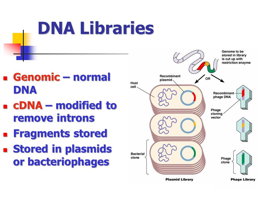 DNA Libraries Genomic – normal DNA Genomic – normal DNA cDNA – modified to remove introns cDNA – modified to remove introns Fragments stored Fragments