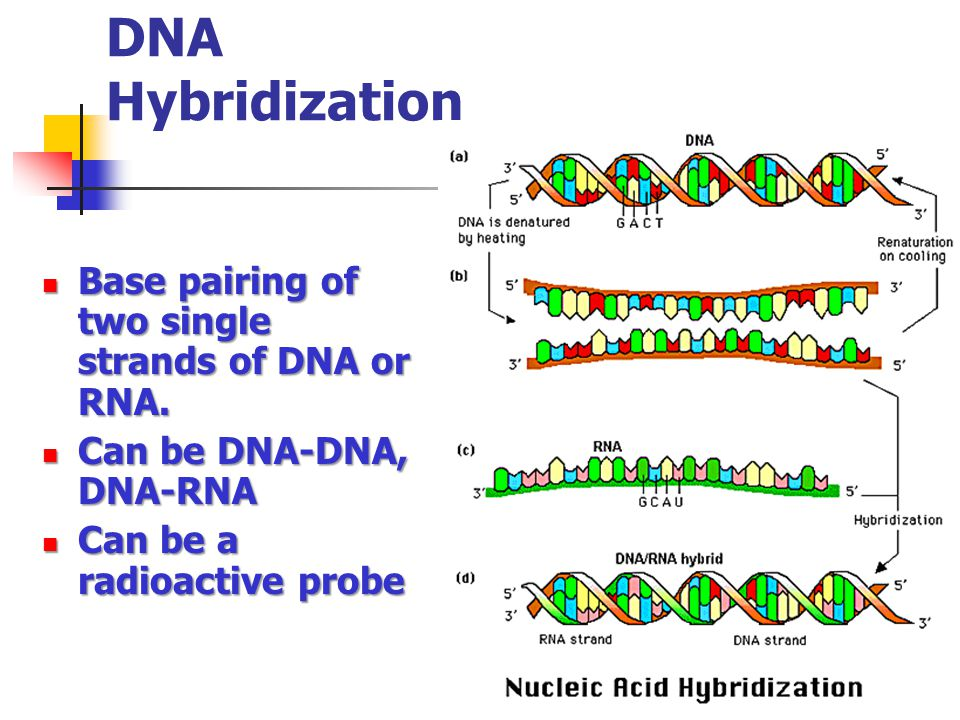 DNA Hybridization Base pairing of two single strands of DNA or RNA. Base pairing of two single strands of DNA or RNA. Can be DNA-DNA, DNA-RNA Can be D