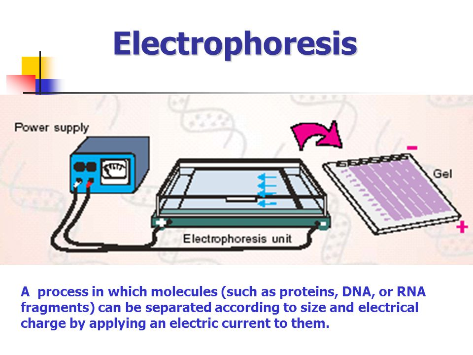 Electrophoresis A process in which molecules (such as proteins, DNA, or RNA fragments) can be separated according to size and electrical charge by app