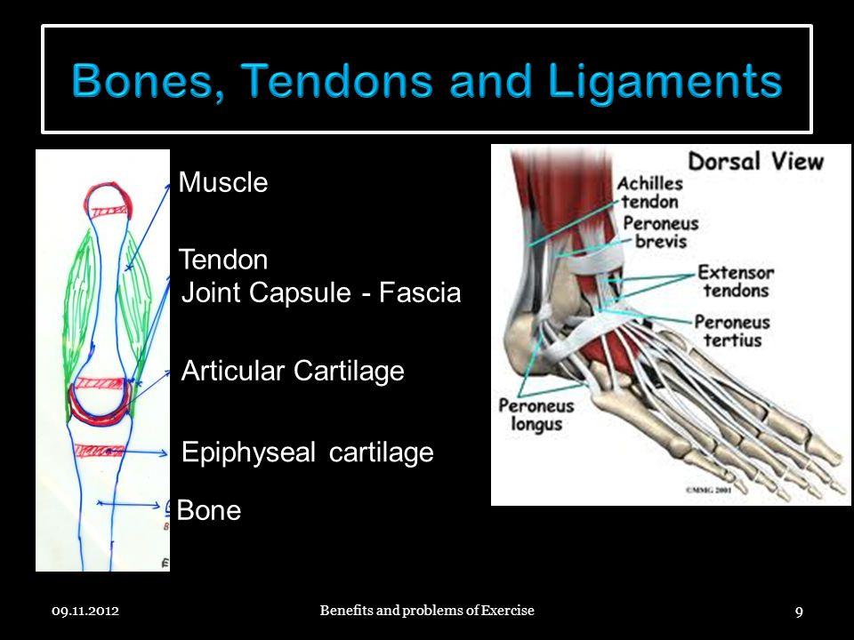 09.11.2012Benefits and problems of Exercise9 Muscle Tendon Articular Cartilage Epiphyseal cartilage Bone Joint Capsule - Fascia