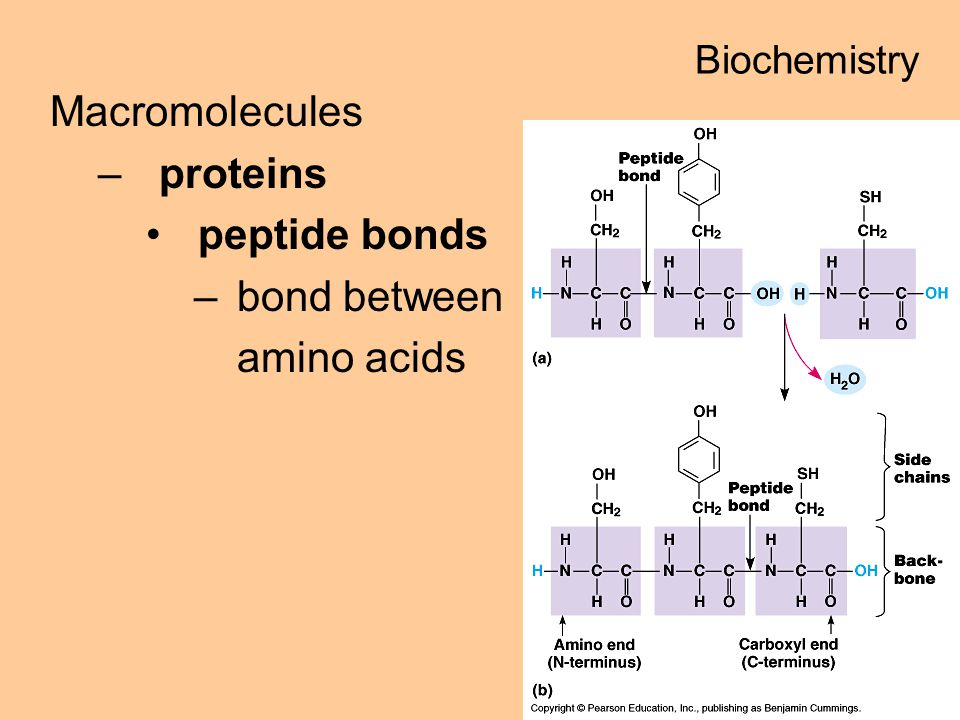 Macromolecules –proteins peptide bonds –bond between amino acids Biochemistry