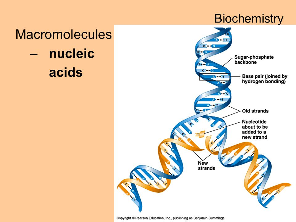 Macromolecules –nucleic acids Biochemistry