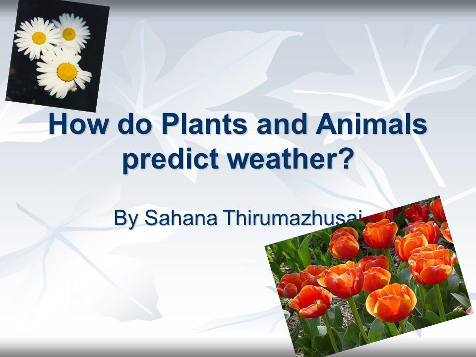 How do Plants and Animals predict weather? By Sahana Thirumazhusai