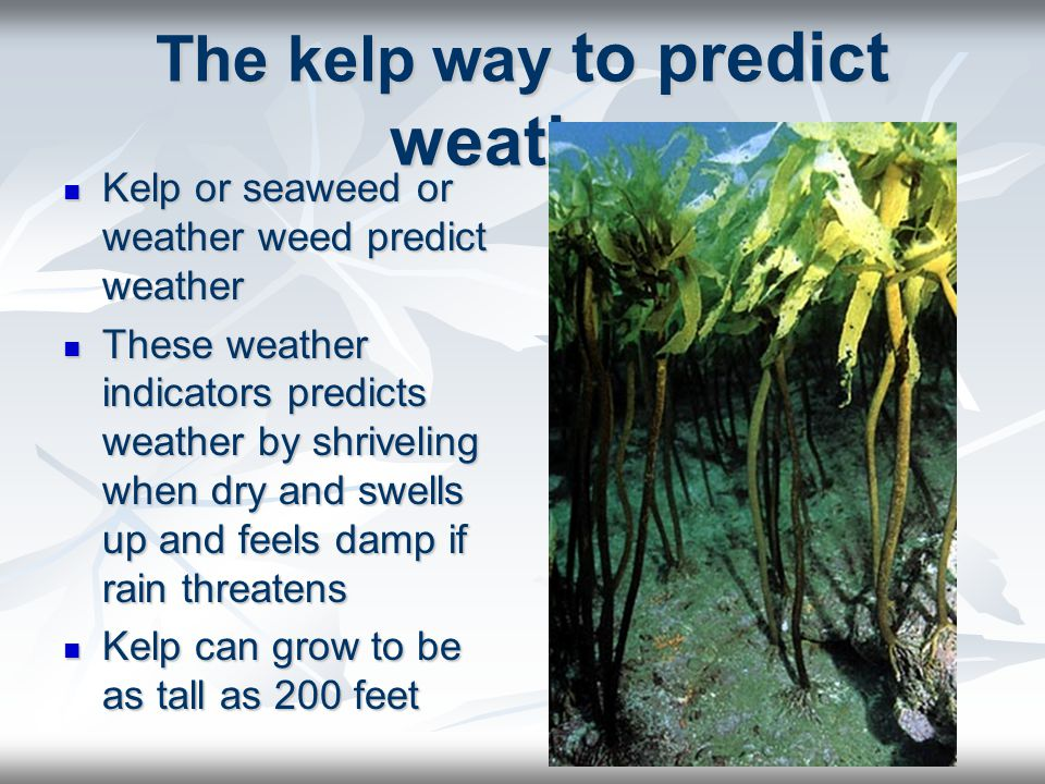 The kelp way to predict weather Kelp or seaweed or weather weed predict weather Kelp or seaweed or weather weed predict weather These weather indicato