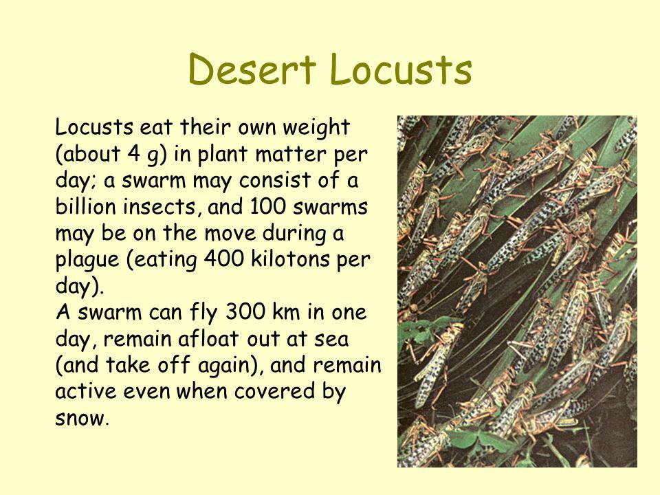 Desert Locusts Locusts eat their own weight (about 4 g) in plant matter per day; a swarm may consist of a billion insects, and 100 swarms may be on th