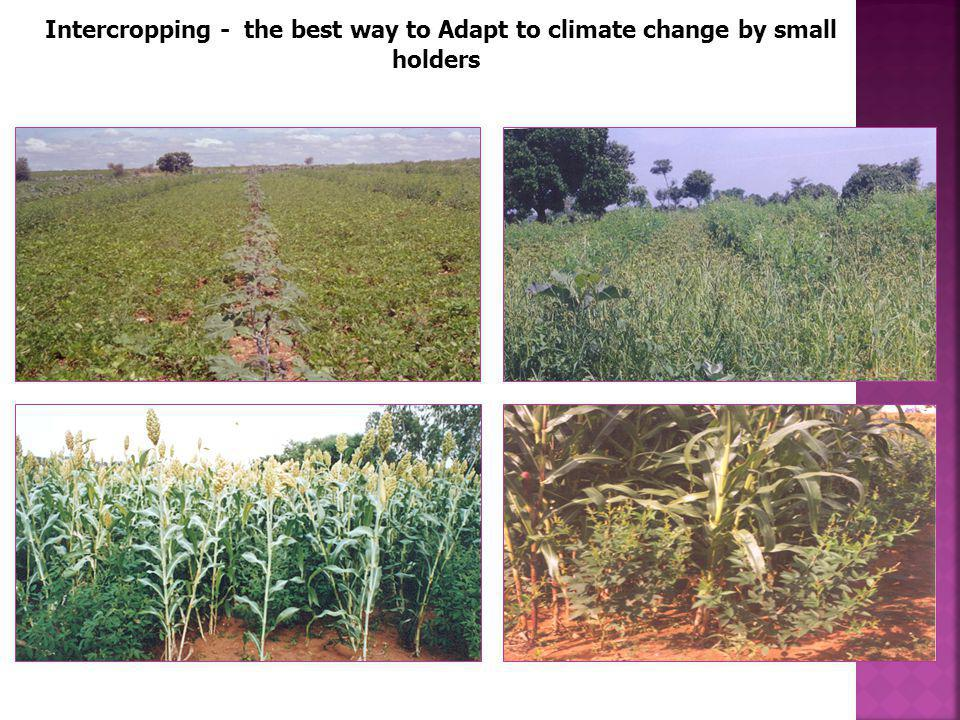 Intercropping - the best way to Adapt to climate change by small holders