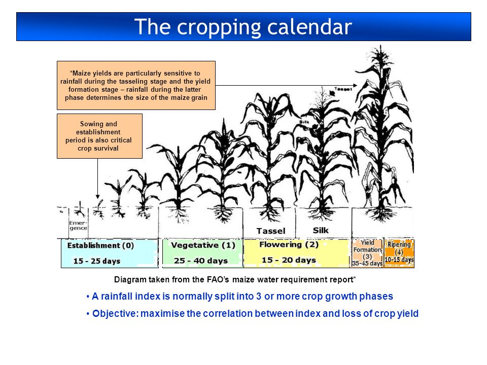 The cropping calendar *Maize yields are particularly sensitive to rainfall during the tasseling stage and the yield formation stage – rainfall during the latter phase determines the size of the maize grain Diagram taken from the FAOs maize water requirement report* Sowing and establishment period is also critical crop survival A rainfall index is normally split into 3 or more crop growth phases Objective: maximise the correlation between index and loss of crop yield