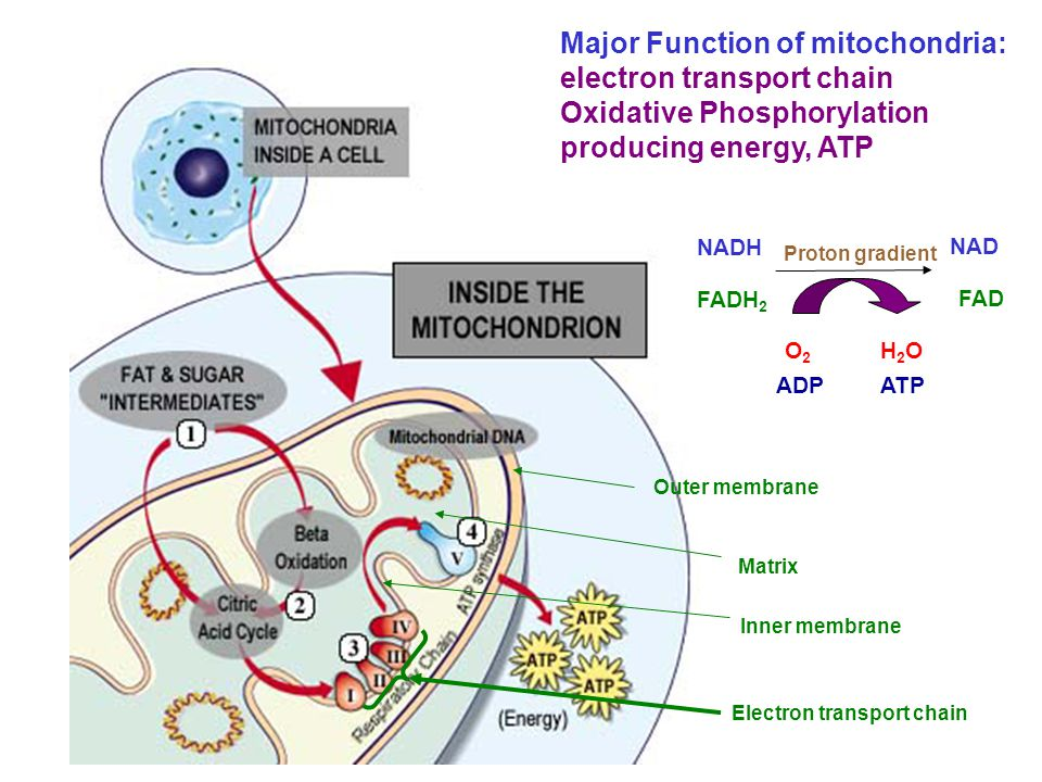 Major Function of mitochondria: electron transport chain Oxidative Phosphorylation producing energy, ATP NADH FADH 2 O2O2 ADP H2OH2O ATP NAD FAD Proto