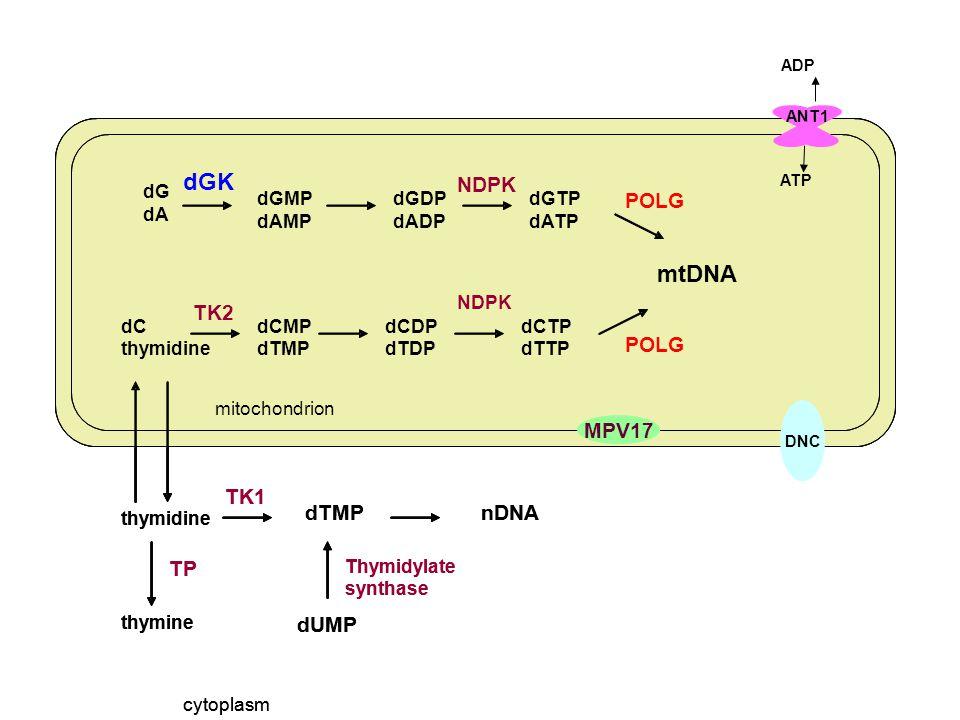 ANT1 ATP ADP DNC MPV17