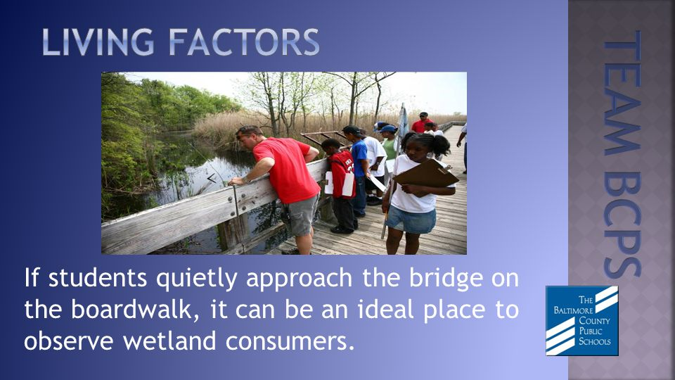 If students quietly approach the bridge on the boardwalk, it can be an ideal place to observe wetland consumers.
