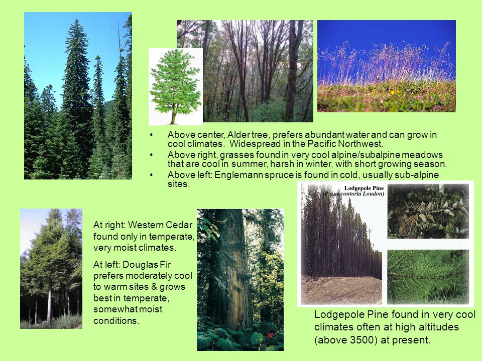 Above center, Alder tree, prefers abundant water and can grow in cool climates. Widespread in the Pacific Northwest. Above right, grasses found in ver