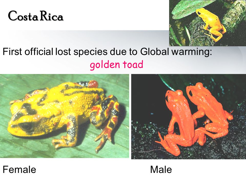 Costa Rica First official lost species due to Global warming: golden toad FemaleMale