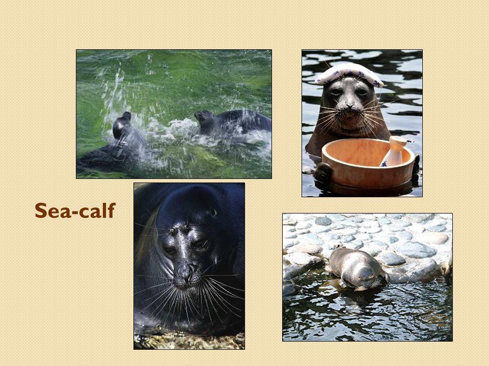Sea-calf