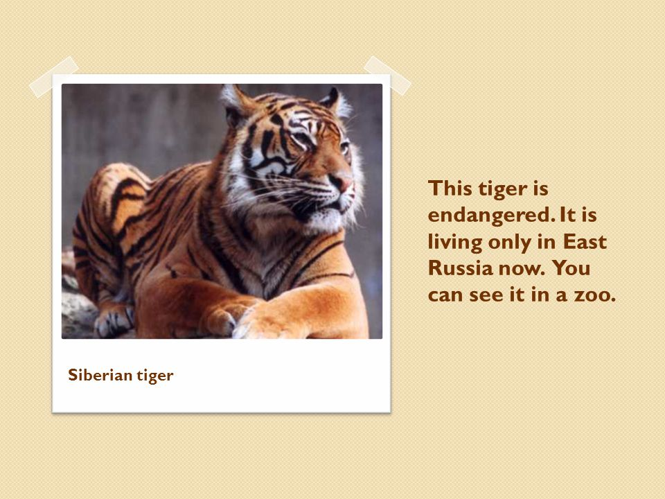 This tiger is endangered.It is living only in East Russia now.