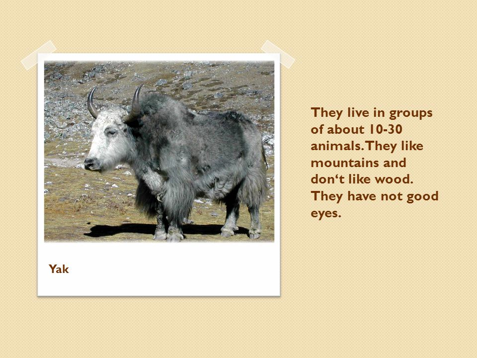 They live in groups of about 10-30 animals. They like mountains and dont like wood. They have not good eyes. Yak