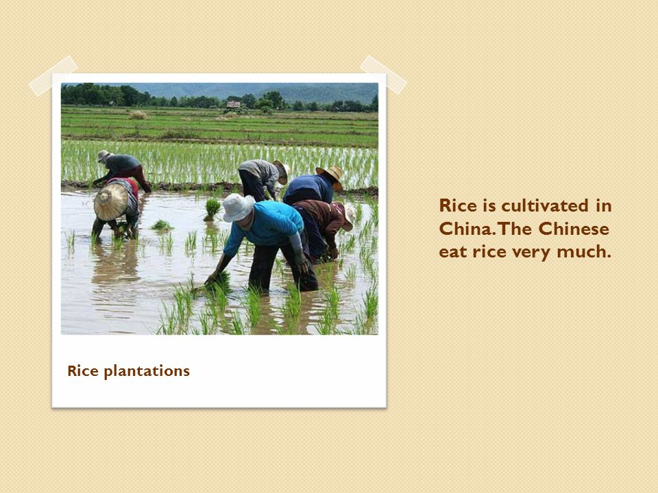 Rice is cultivated in China. The Chinese eat rice very much. R ice plantations