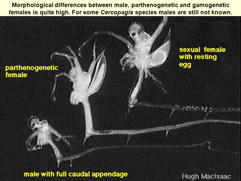 Morphological differences between male, parthenogenetic and gamogenetic females is quite high.