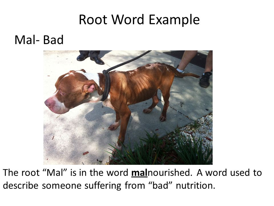 Root Word Example Mal- Bad The root Mal is in the word malnourished.