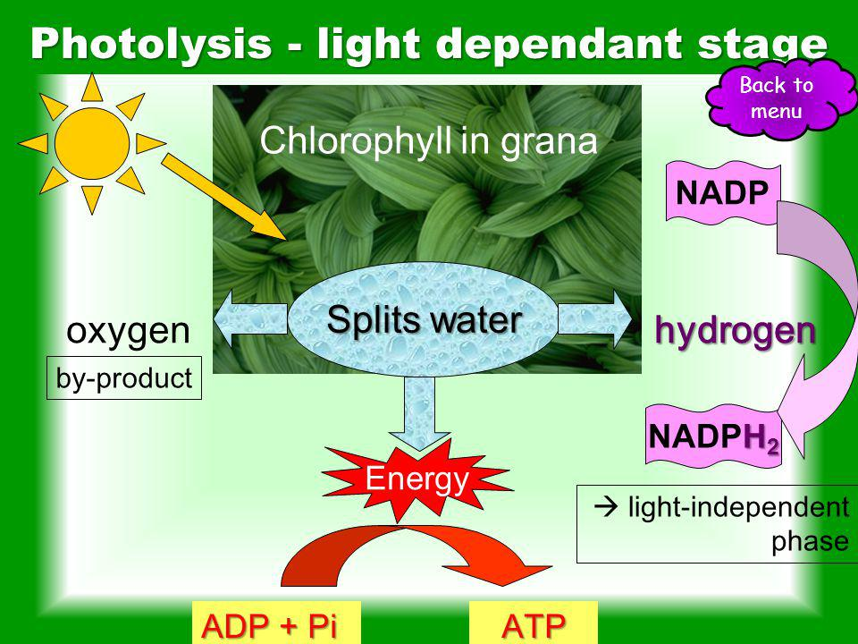 Chlorophyll except greenAbsorbs all wavelengths except green Reflects greenReflects green light appears green ReabsorbedReabsorbed before leaves fall