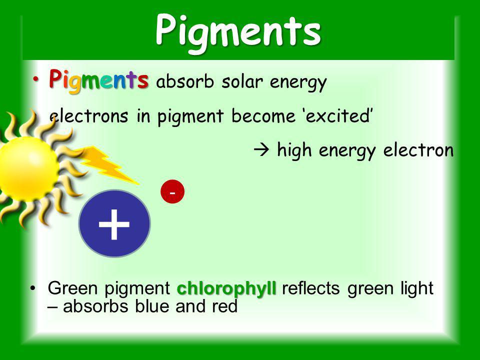 Carotenoids Yellow – orange Transfer energy to chlorophyll.