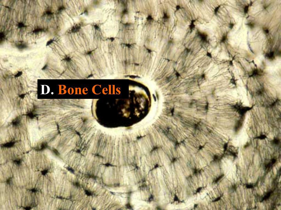 D. Bone Cells