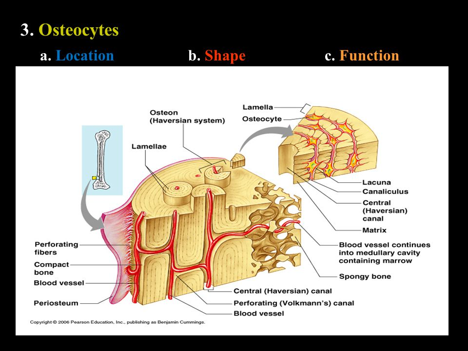 3. Osteocytes a. Locationb. Shapec. Function