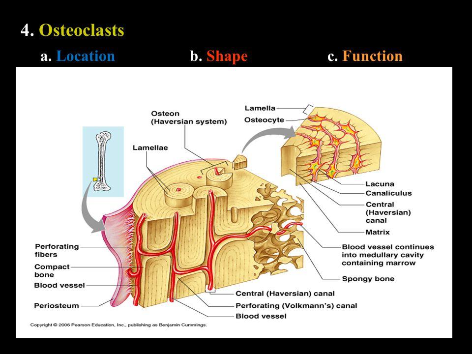 4. Osteoclasts a. Locationb. Shapec. Function