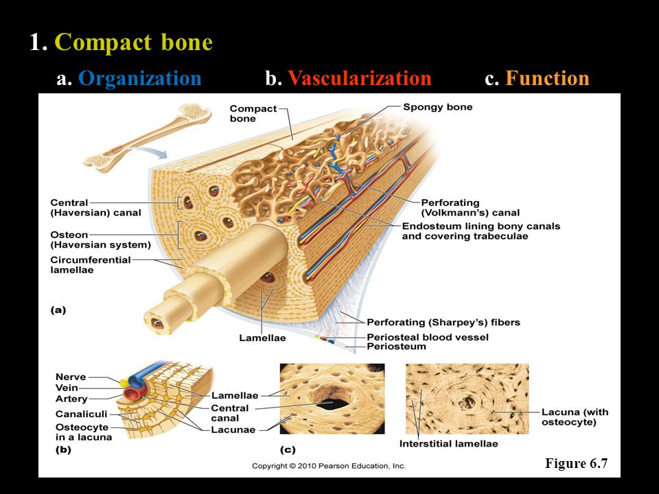 1. Compact bone a. Organizationb. Vascularizationc. Function Figure 6.7