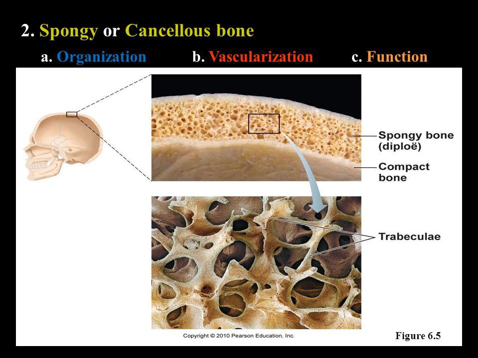 2. Spongy or Cancellous bone a. Organizationb. Vascularizationc. Function Figure 6.5
