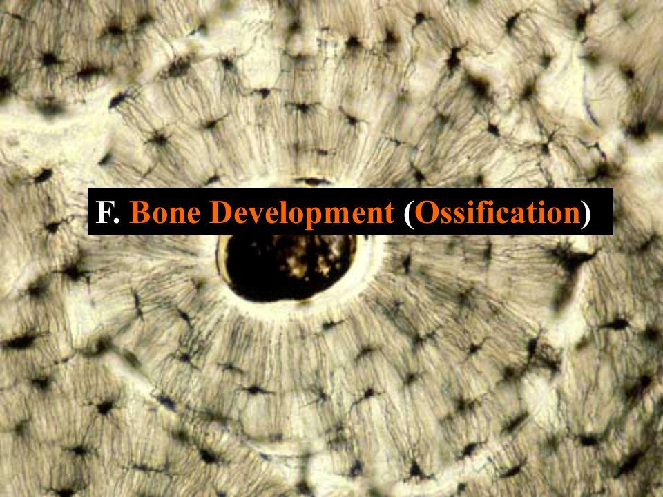 F. Bone Development (Ossification)