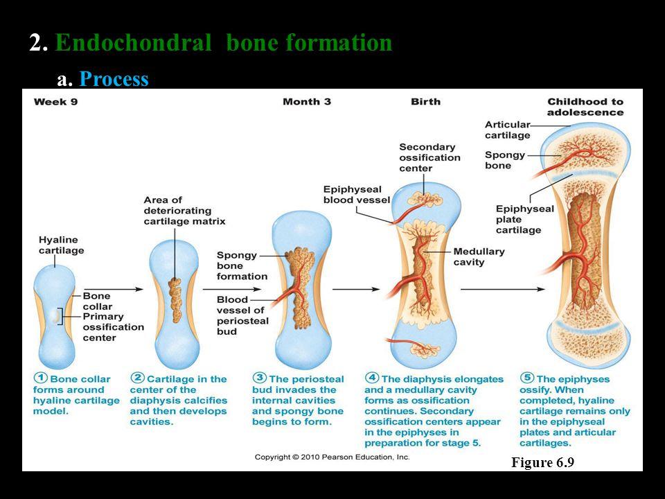 2. Endochondral bone formation a. Process Figure 6.9