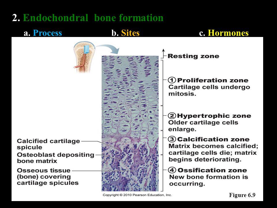 2. Endochondral bone formation a. Processb. Sitesc. Hormones Figure 6.9