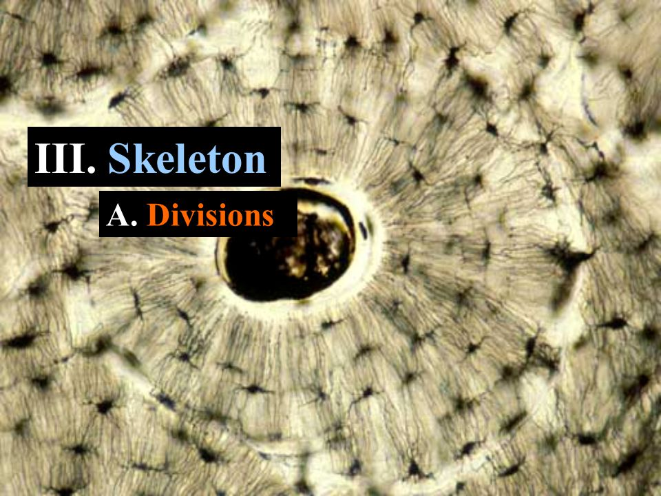 III. Skeleton A. Divisions