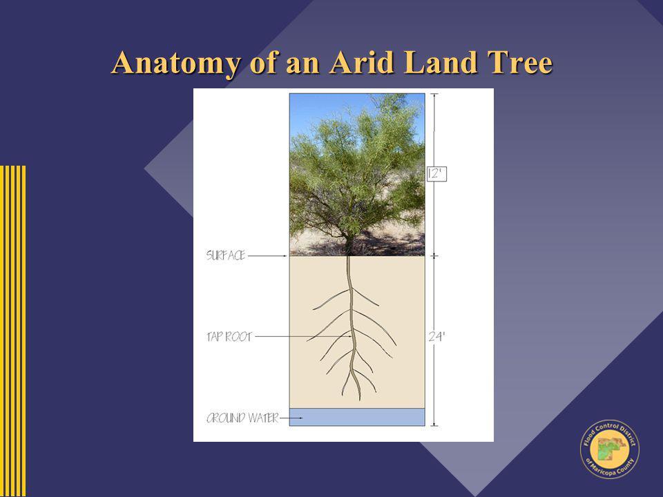 Anatomy of an Arid Land Tree