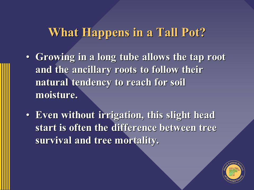 What Happens in a Tall Pot? Growing in a long tube allows the tap root and the ancillary roots to follow their natural tendency to reach for soil mois