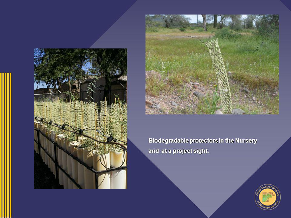 Biodegradable protectors in the Nursery and at a project sight.