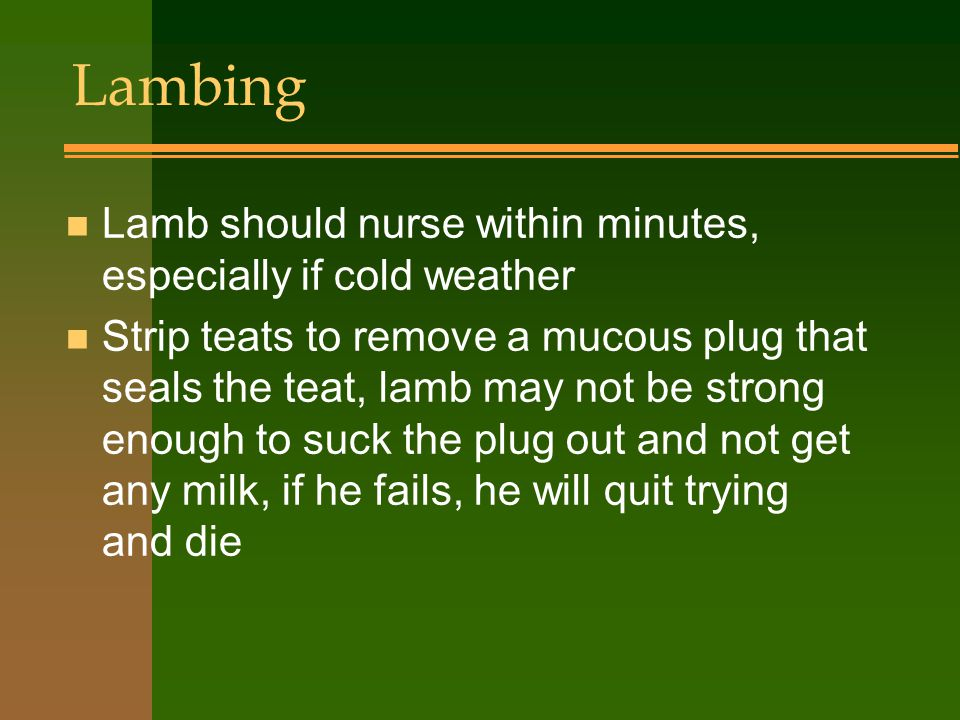 Lambing n Lamb should nurse within minutes, especially if cold weather n Strip teats to remove a mucous plug that seals the teat, lamb may not be strong enough to suck the plug out and not get any milk, if he fails, he will quit trying and die