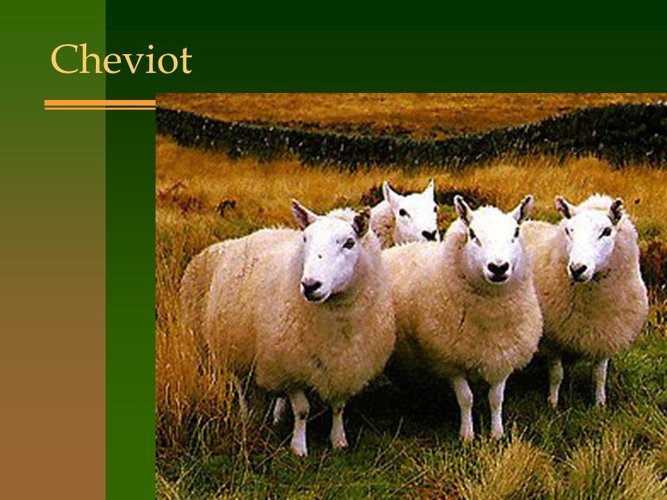 Cheviot