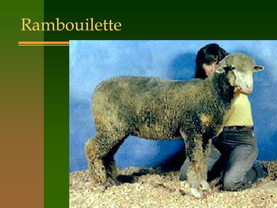 Rambouilette