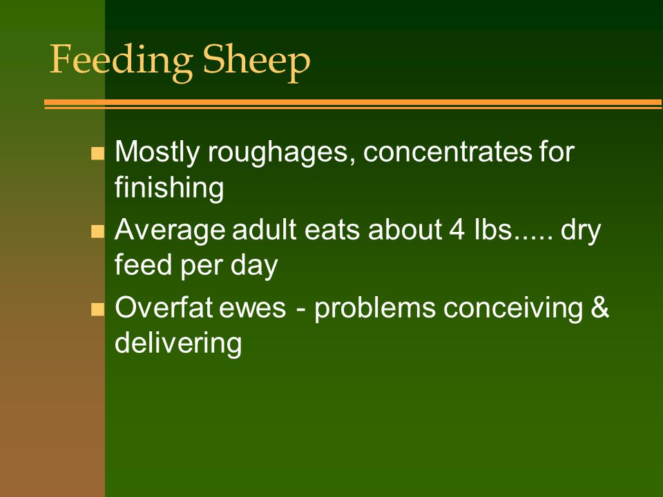 Feeding Sheep n Mostly roughages, concentrates for finishing n Average adult eats about 4 lbs.....