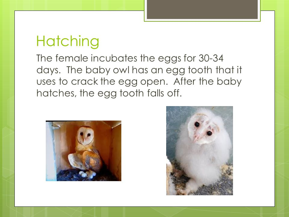 Hatching The female incubates the eggs for 30-34 days. The baby owl has an egg tooth that it uses to crack the egg open. After the baby hatches, the e