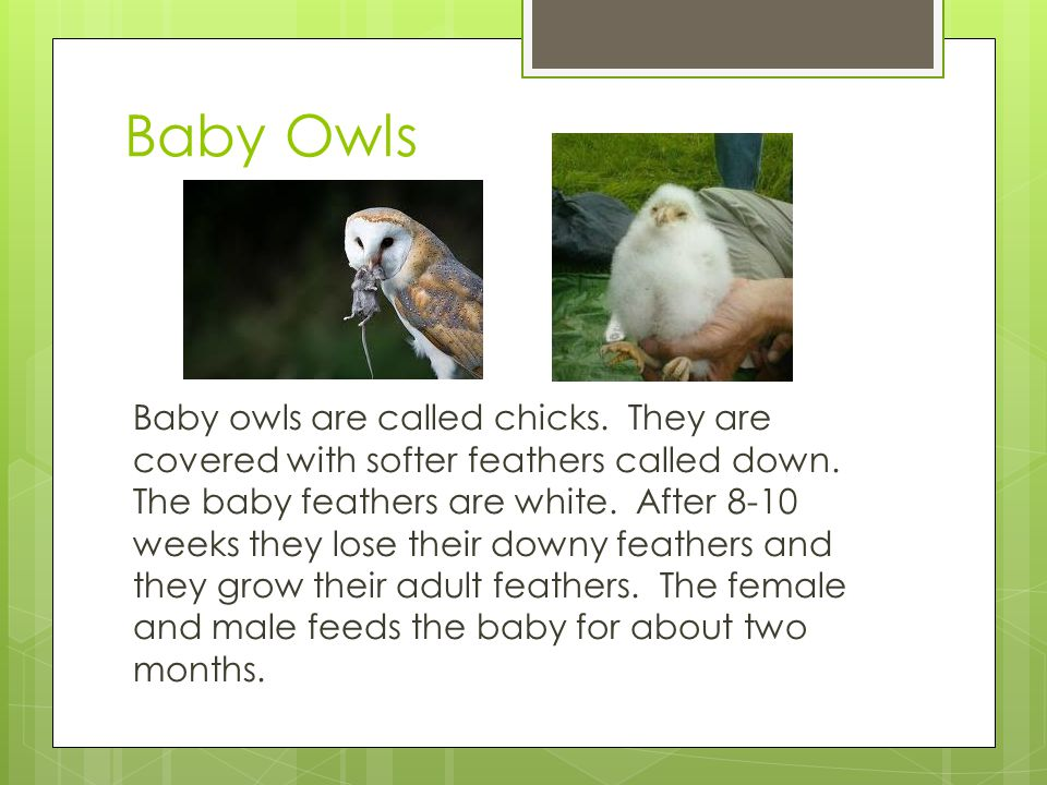 Baby Owls Baby owls are called chicks. They are covered with softer feathers called down. The baby feathers are white. After 8-10 weeks they lose thei